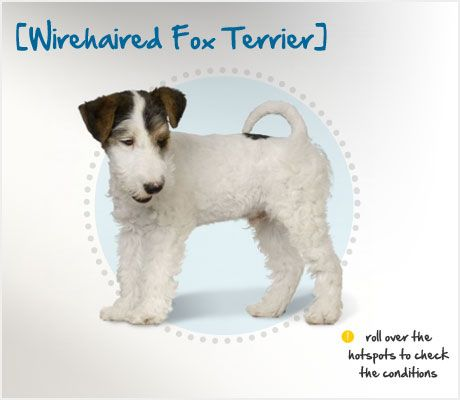 Wirehaired Fox Terrier Condition Checker From Petplan Canada