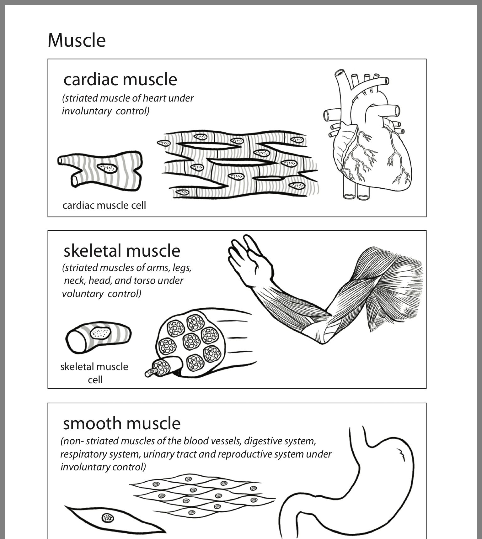 Inside Out Anatomy Muscles Worksheet Education Com Cardiac Muscle Cell Education Com Reproductive System