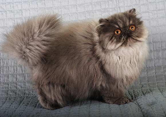 Smoke Persian Persian Cat Persian Kittens Cats And Kittens