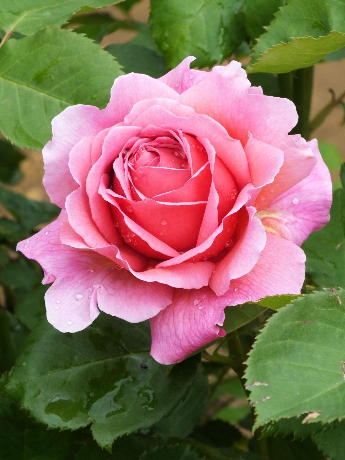 """""""Princess Alexandra of Kent"""" David Austin rose"""