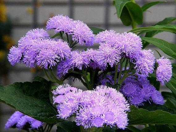Floss Flower 100 Seeds Ageratum Houstonianum Plants Flowers Bedding Plants