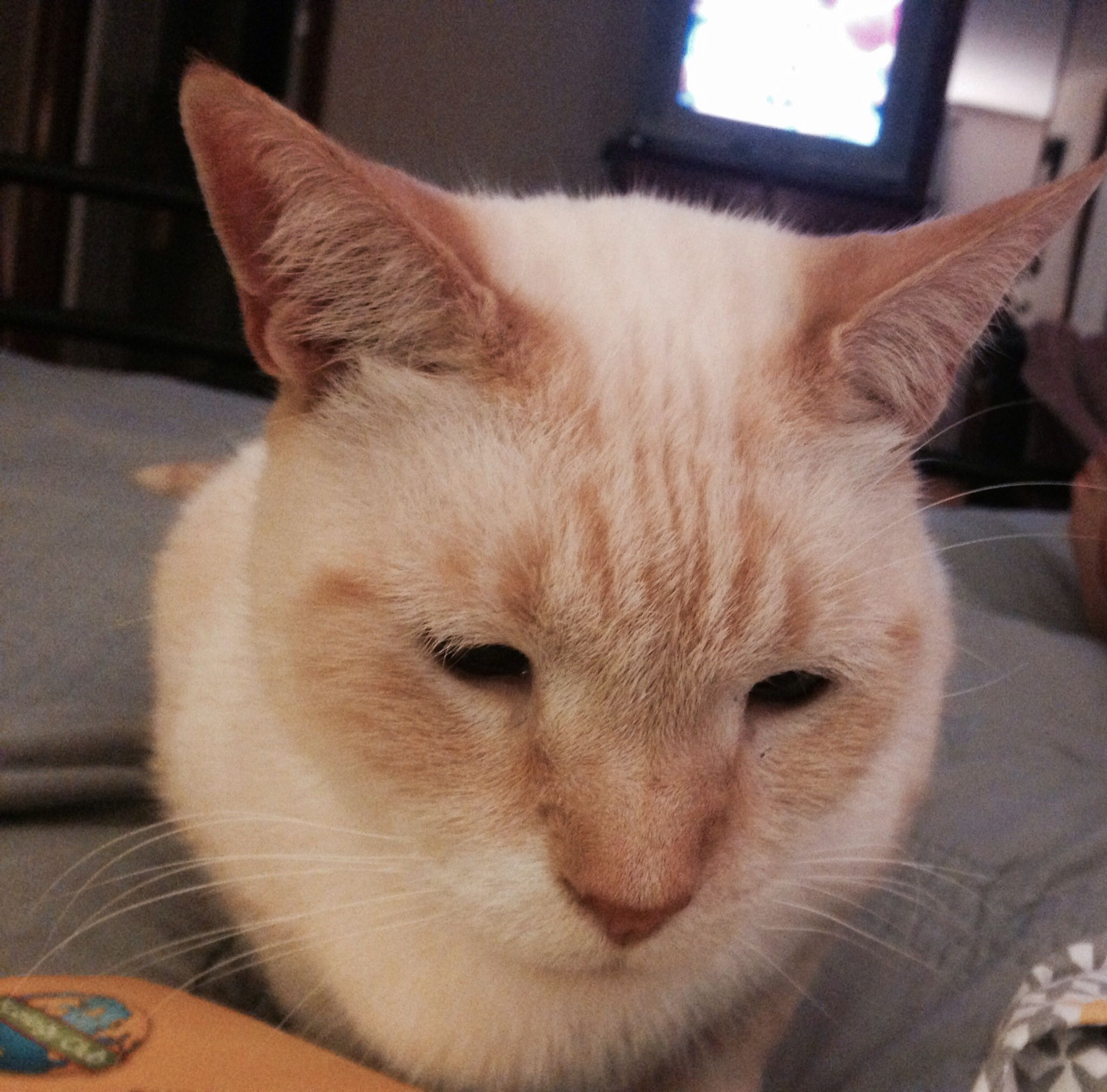 Flame Point Siamese Rescue Cat Cool Cats Cute Cats Siamese Rescue