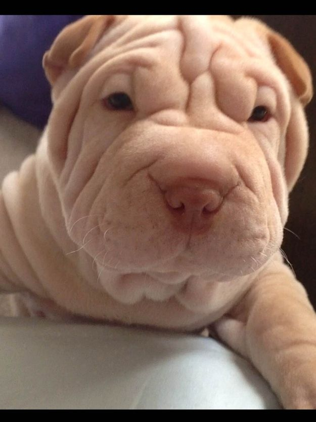 Bruce, a Chinese Shar-Pei #sharpei #dog #doggie dog