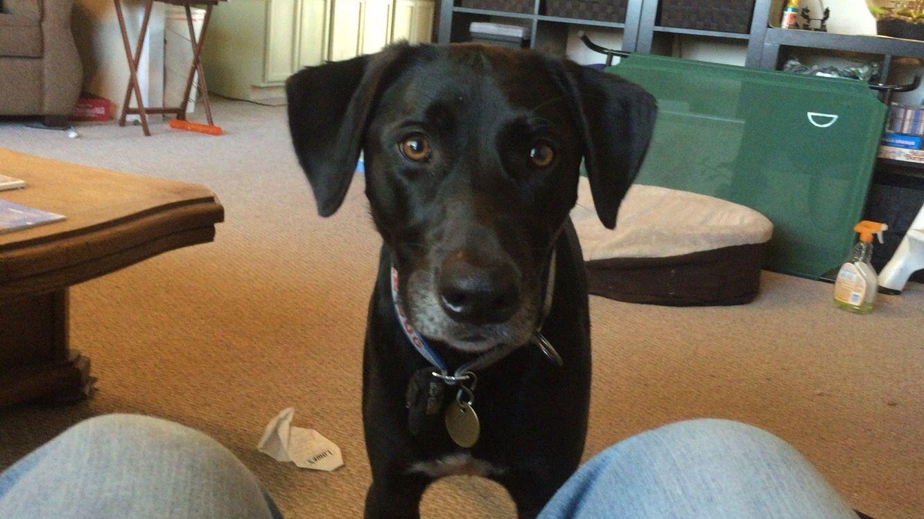 The service dog stare. diyservicedog servicedog