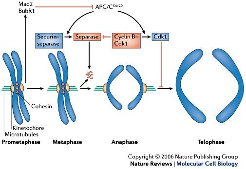 The Anaphase Promoting Complex Cyclosome A Machine Designed To