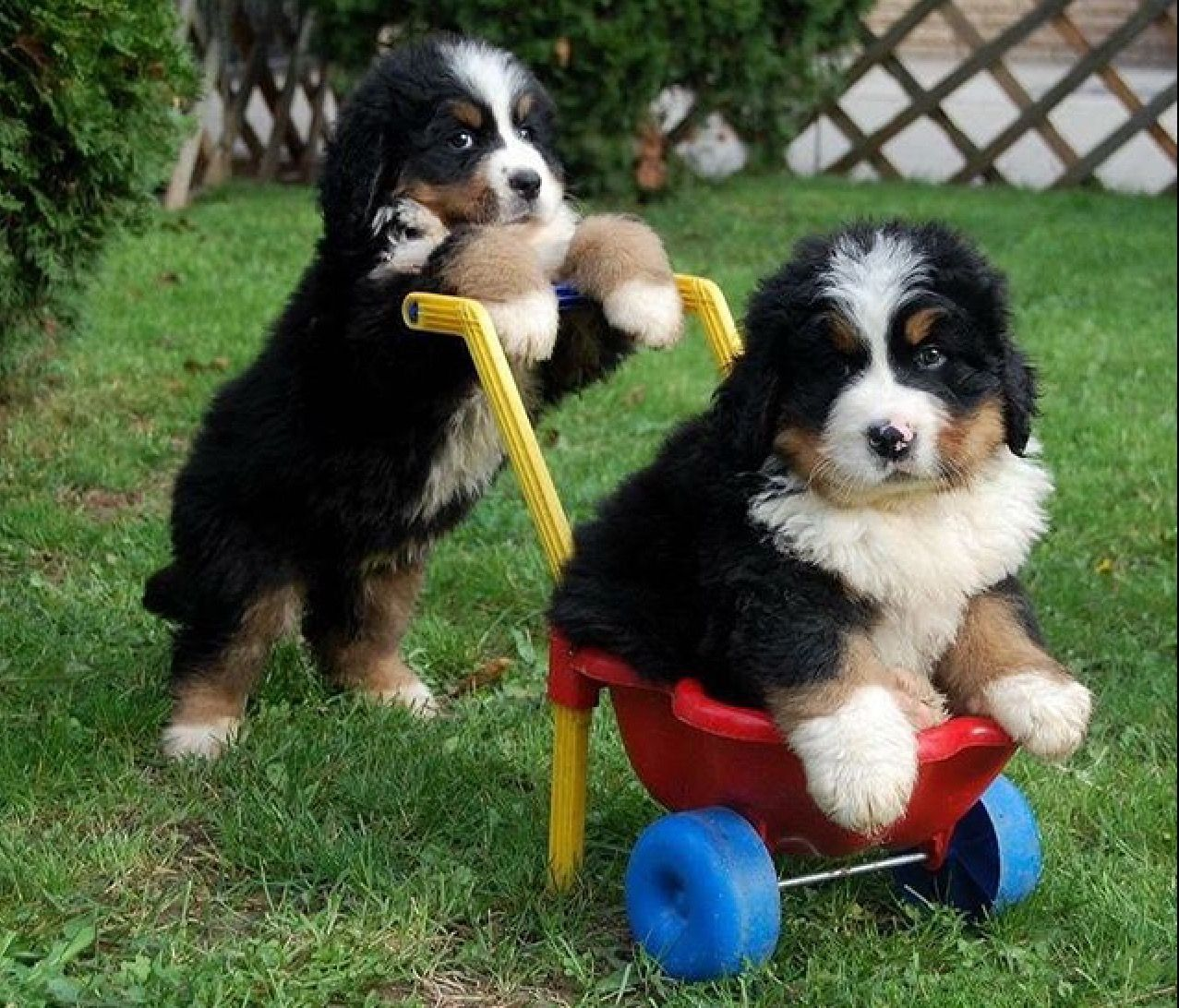 Precious Precious Cute Puppies Puppies Bernese Mountain Puppy