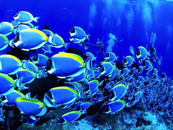 Tubbataha Philippines Guest Of A Guest Underwater Wallpaper Blue Tang Fish Underwater Fish