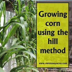 Charming Growing Corn Using The Hill Method Is A Simple Way To Grow Small Amounts Of  Corn