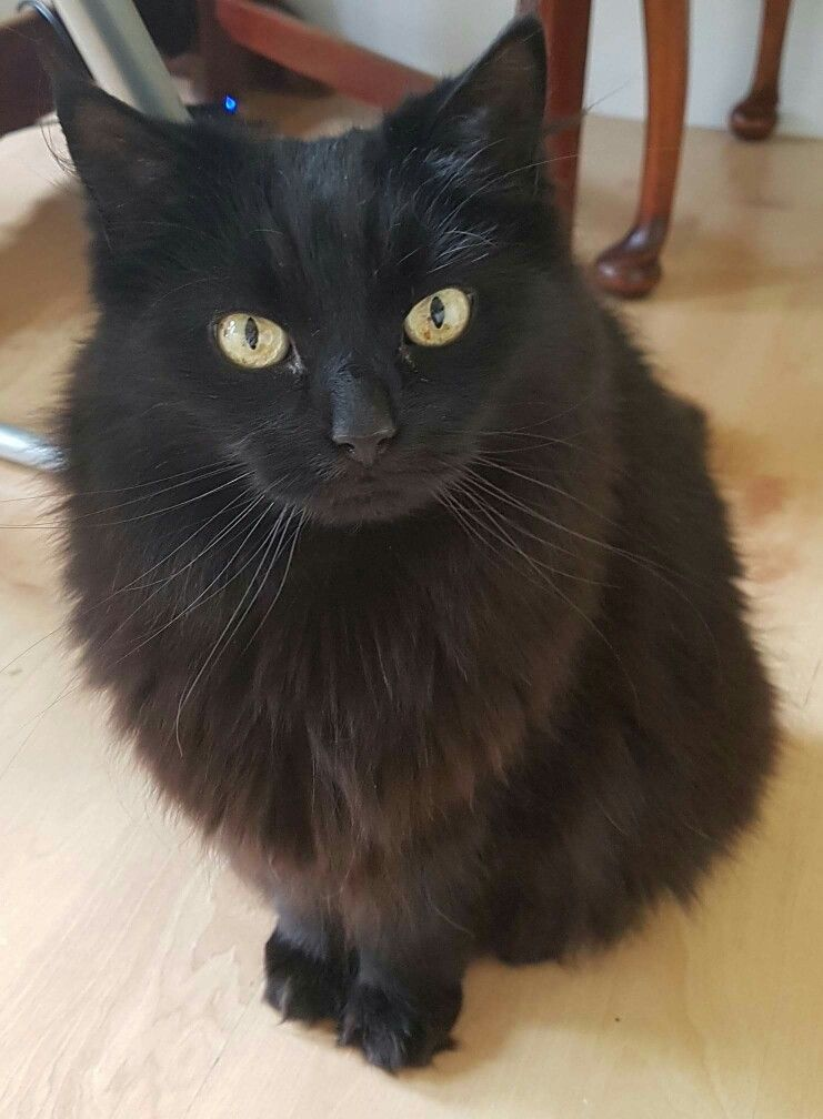 4SDBE6YL9Y | Fluffy black cat, Cats, Pretty cats
