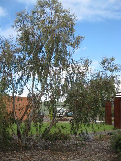 Eucalyptus Pauciflora Little Snowman Trees To Plant 640 x 480