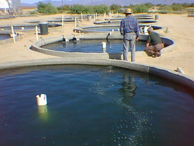 California Tilapia farm. | Fish farming, Fish pond gardens ...