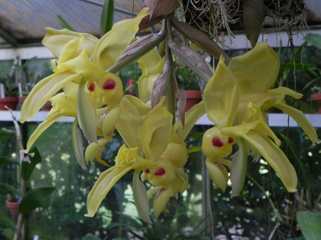 Stanhopea warscewiczii orquideas pinterest orchid flowers and