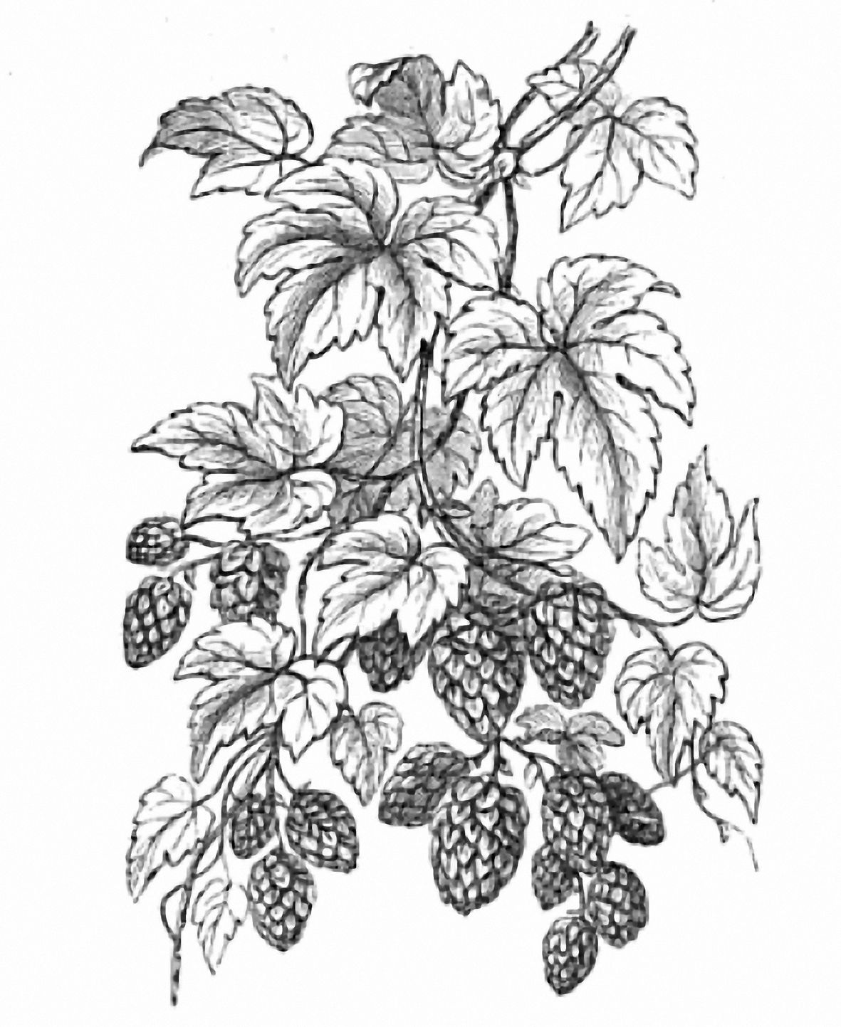 hight resolution of hop line drawing