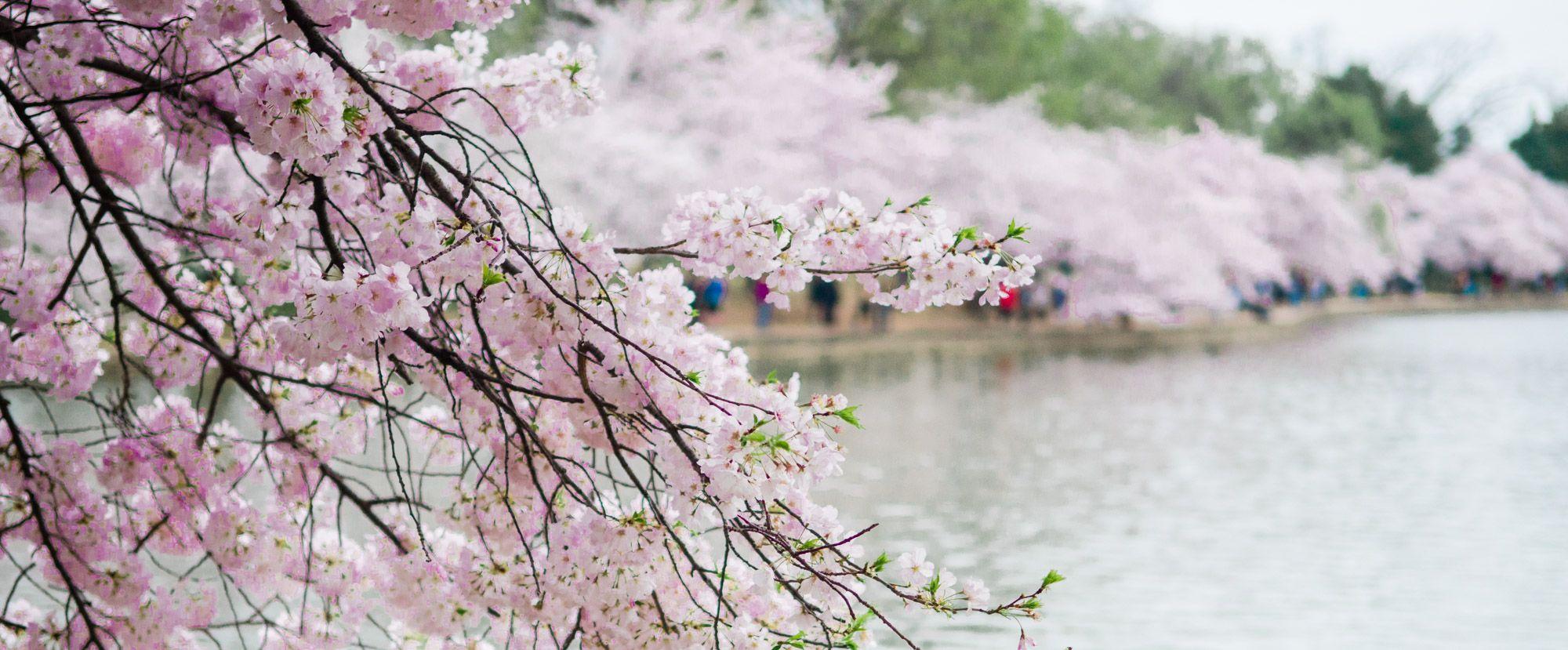 The 2021 Guide To Washington Dc Cherry Blossom Peak Bloom Cherry Blossom Dc Cherry Blossom Festival Blossom Trees