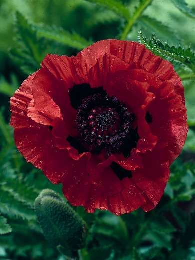"""Oriental Poppy 'Indian Chief' Papaver- Deep mahogany blooms with a black center make this a striking addition to your sunny flower beds. Height 28"""""""