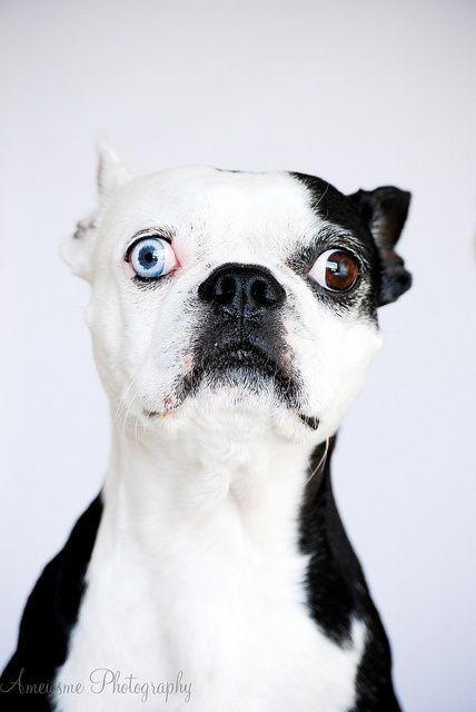 Beautiful Boston Terrier Boston Terrier Terrier Boston Terrier Funny