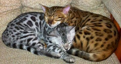 Bengals Are The Coolest Cats I Know B C One Of The Little Psychos