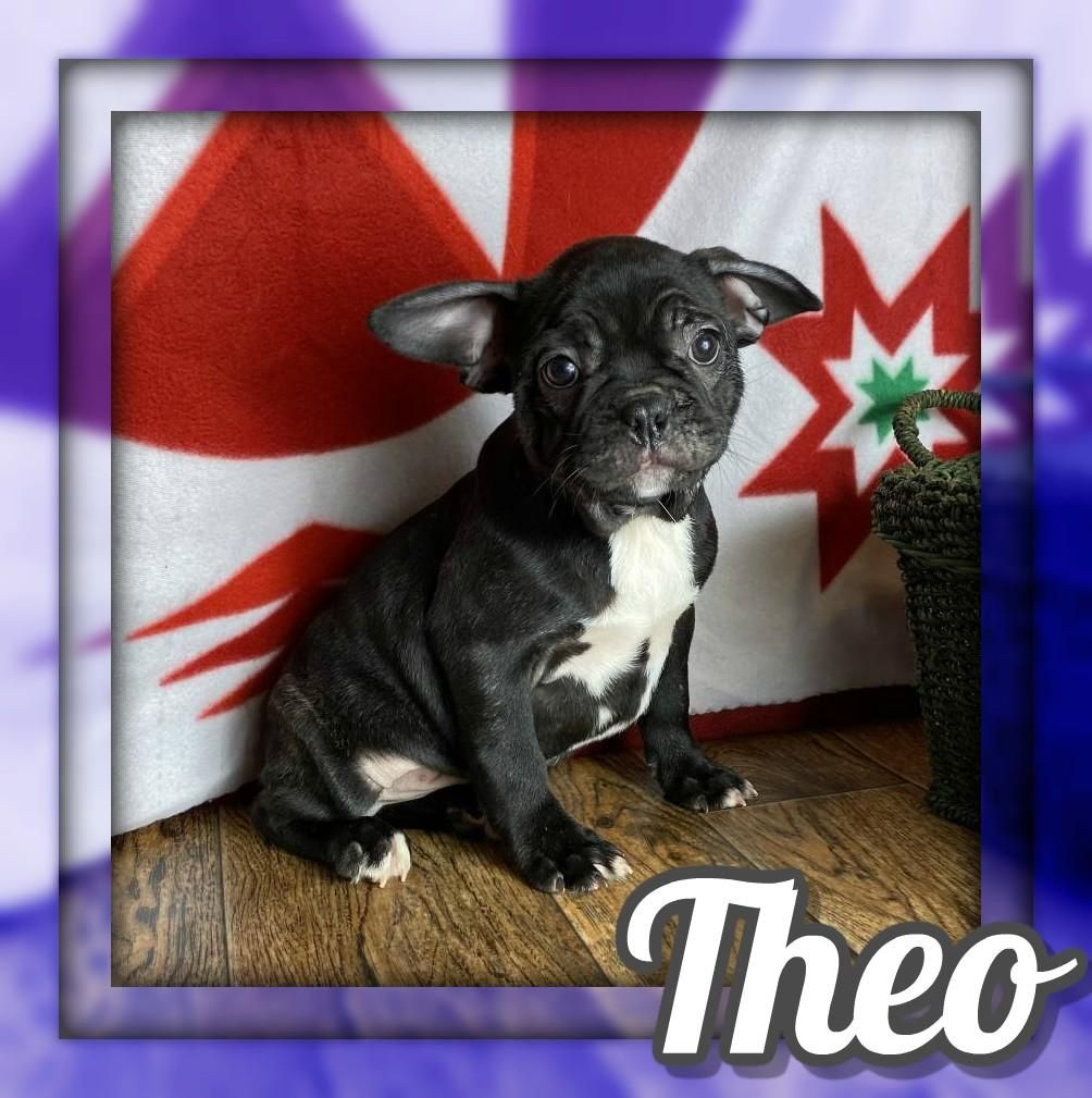 Theo Male Frenchton 1500 Puppies for sale, Male, Doggy