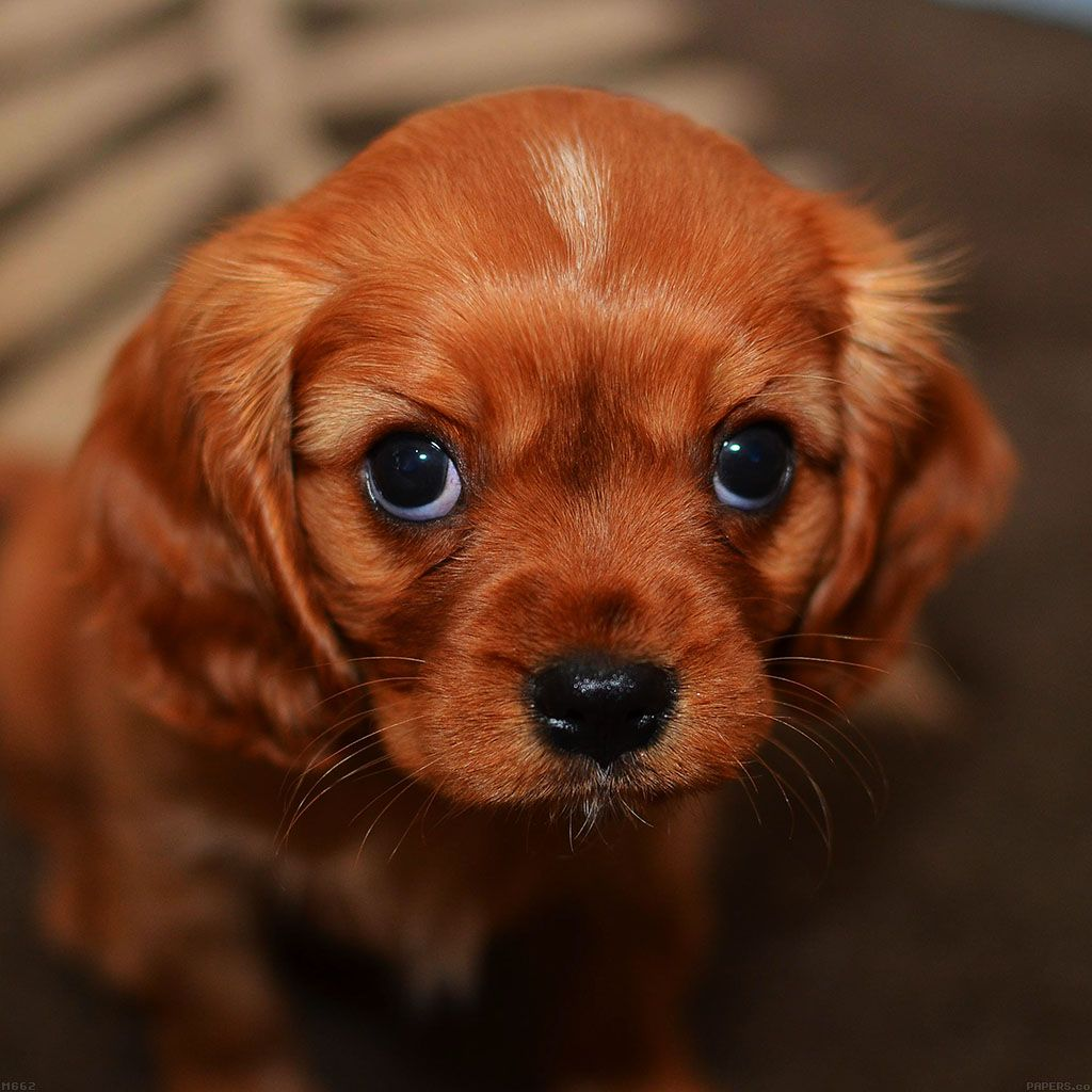 Cute Puppy Dog Ipad Wallpaper Cute Puppy Wallpaper Cute Dogs Kittens And Puppies