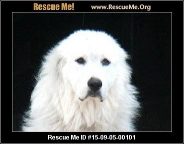9 5 15 Florida Great Pyrenees Rescue Adoptions Rescueme Org