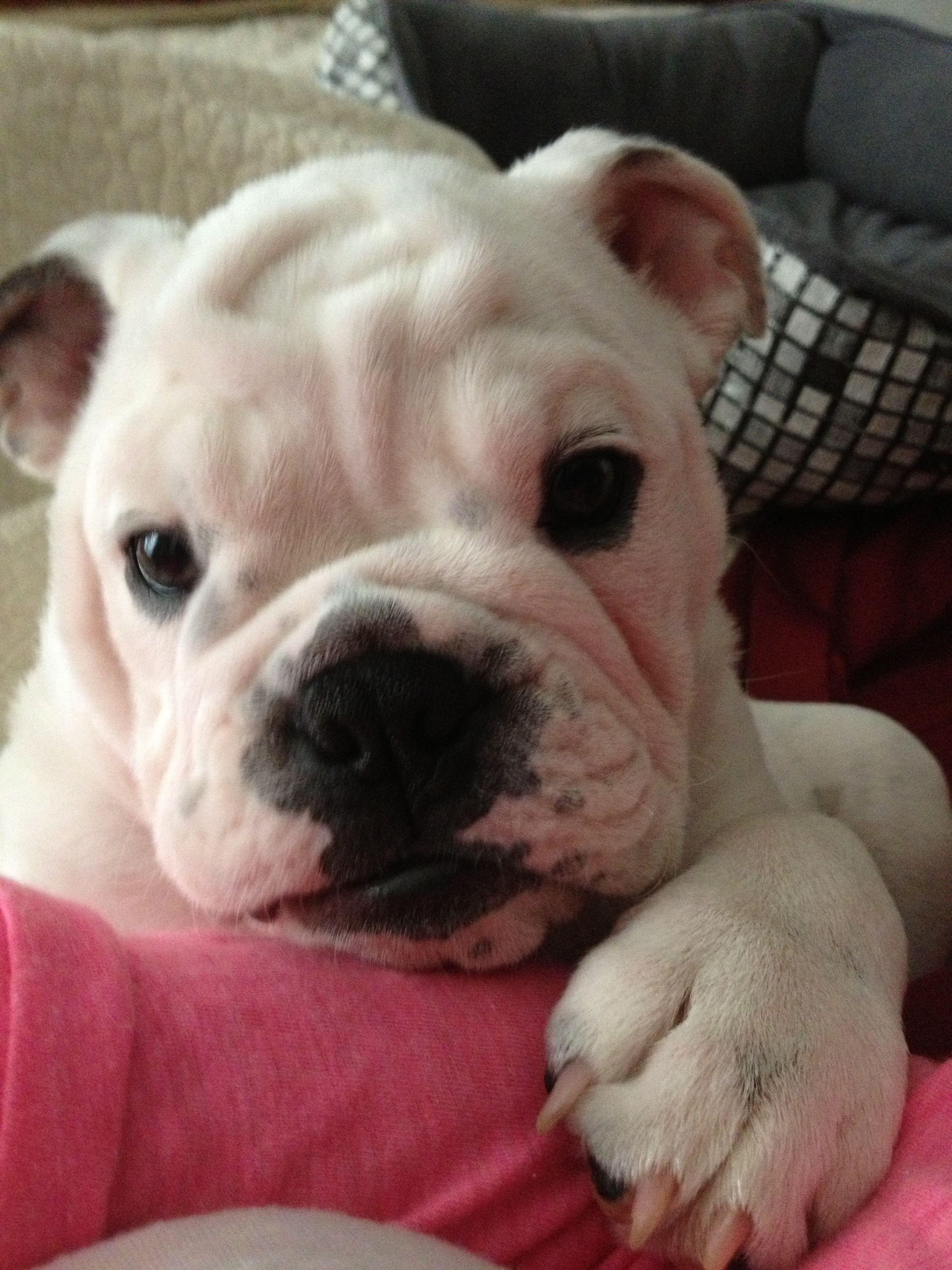 Too cute! Dogs, French bulldog, Bulldog