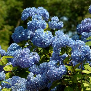 Hydrangeas The Shrubs Of Summer Hydrangea Varieties Types Of Hydrangeas Hydrangea Shrub