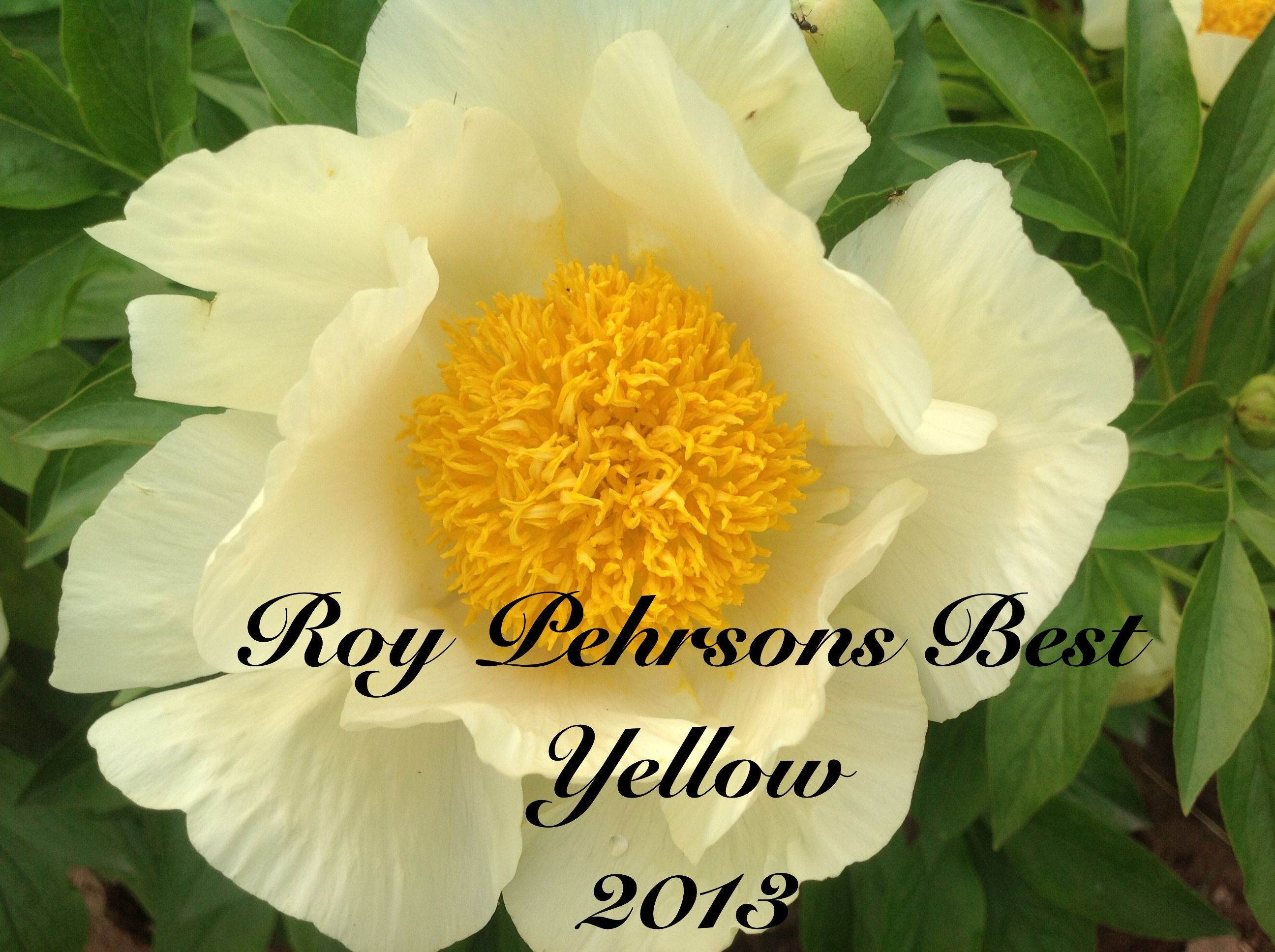 Roy Pehrsons Best Yellow Yellow Peony Flowers Pinterest