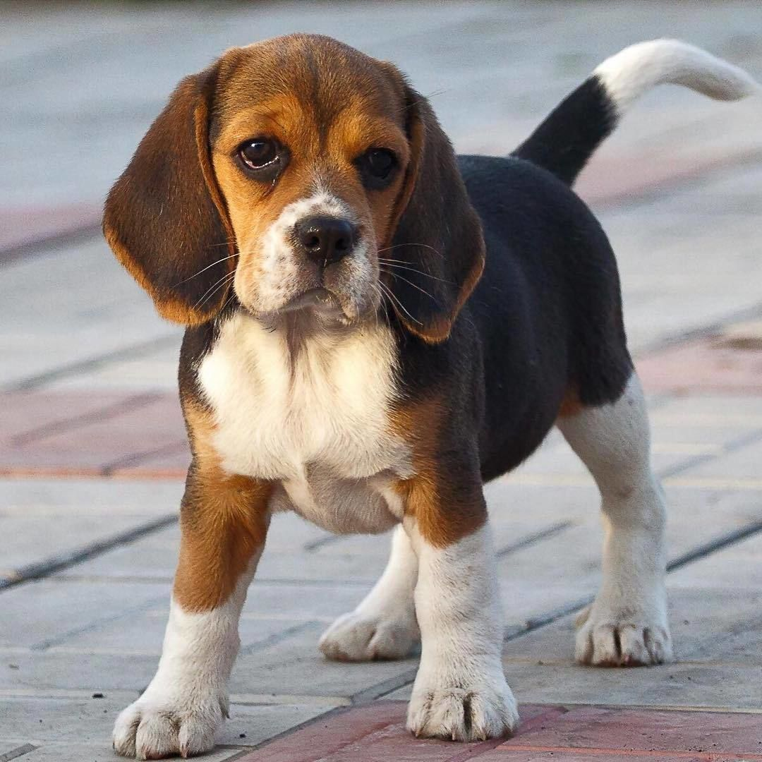Pin By Gretchen Kyle On Dogs Puppies In 2020 Beagle Dog Breed