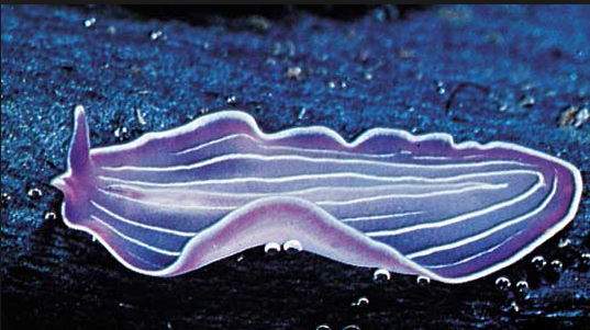 The Turbellaria are one of the traditional sub-divisions of the phylum Platyhelminthes (flatworms), and include all the sub-groups that are not exclusively parasitic. There are about 4,500 species. They are free living carnivores, some live in oysters, crabs and other invertebrates.