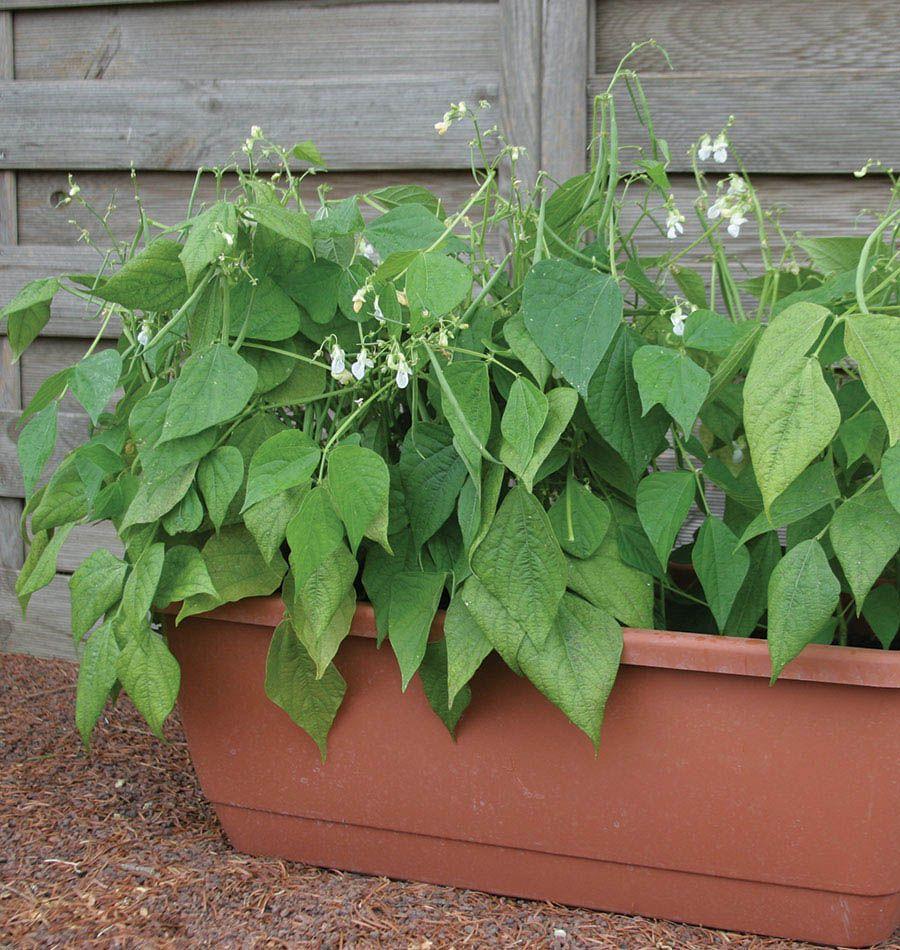 Mascotte Beans Bush Beans Bean Seeds And Balcony Gardening 400 x 300