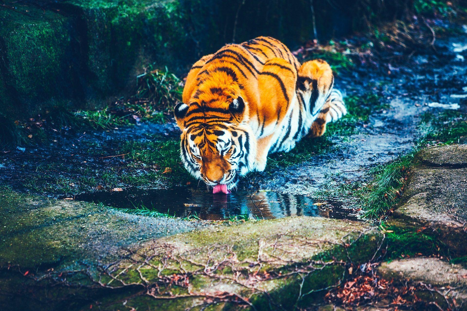 Fondos Animados Para Celular De Animales: Tigre, Salvaje, Depredador, Felino, Beber, Agua, Libertad