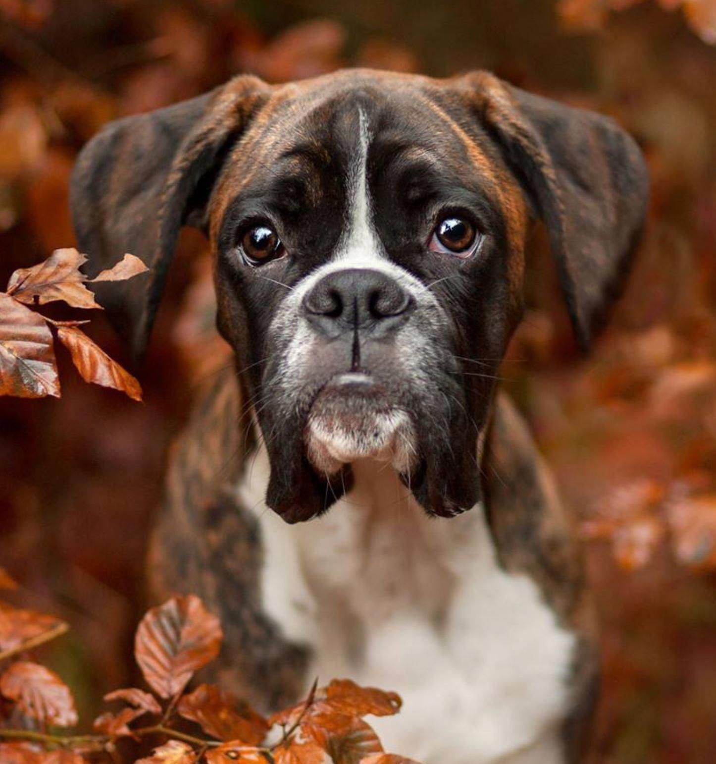Boxer Dog Chained To An Abandoned Building Gets Rescued And Transformed By An Amazing Woman Boxer Puppies Boxer Dogs Dog Photography