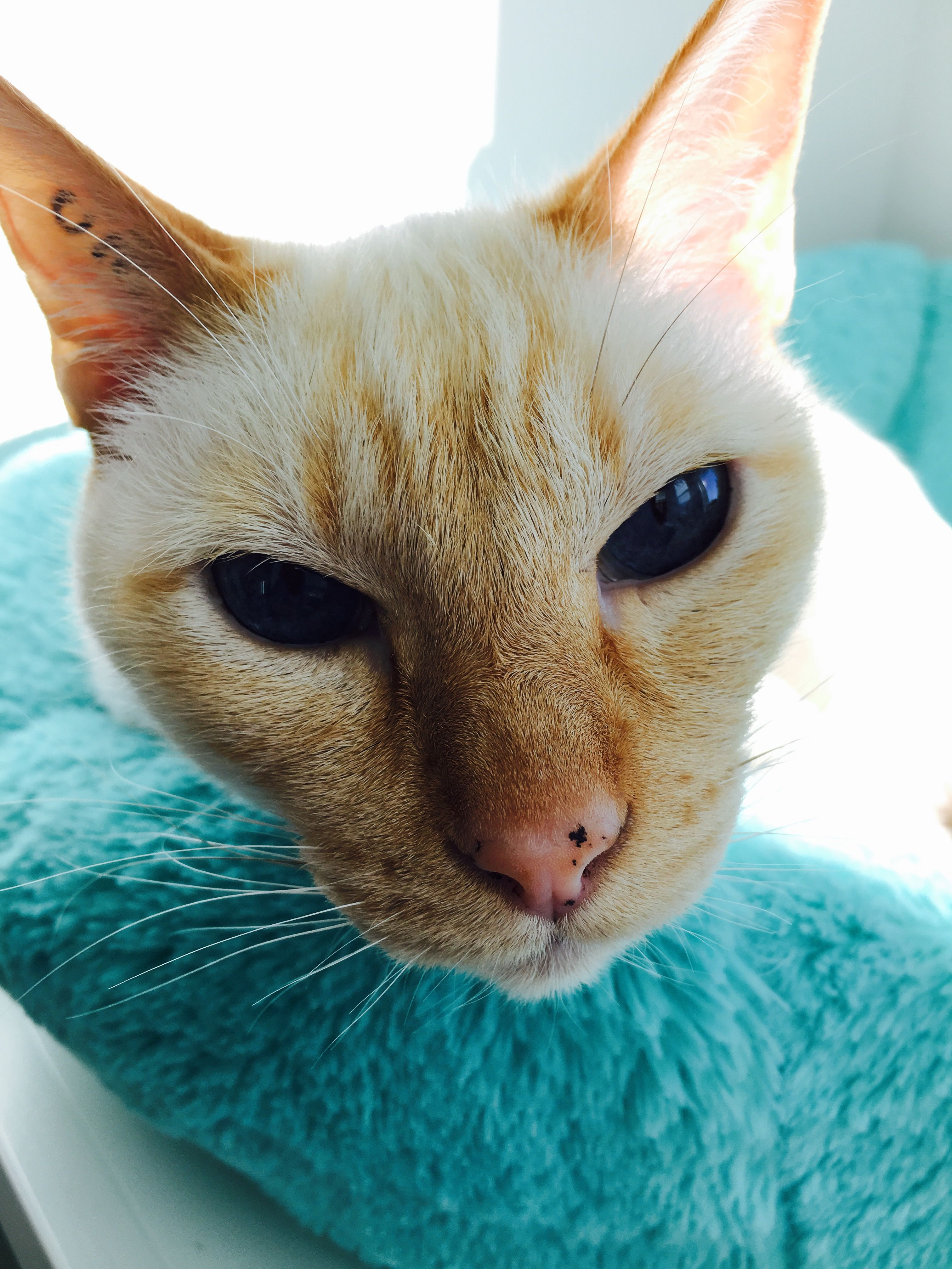 Wiwi the Siamese flame x Crazy cats, Cat rescue, Cats