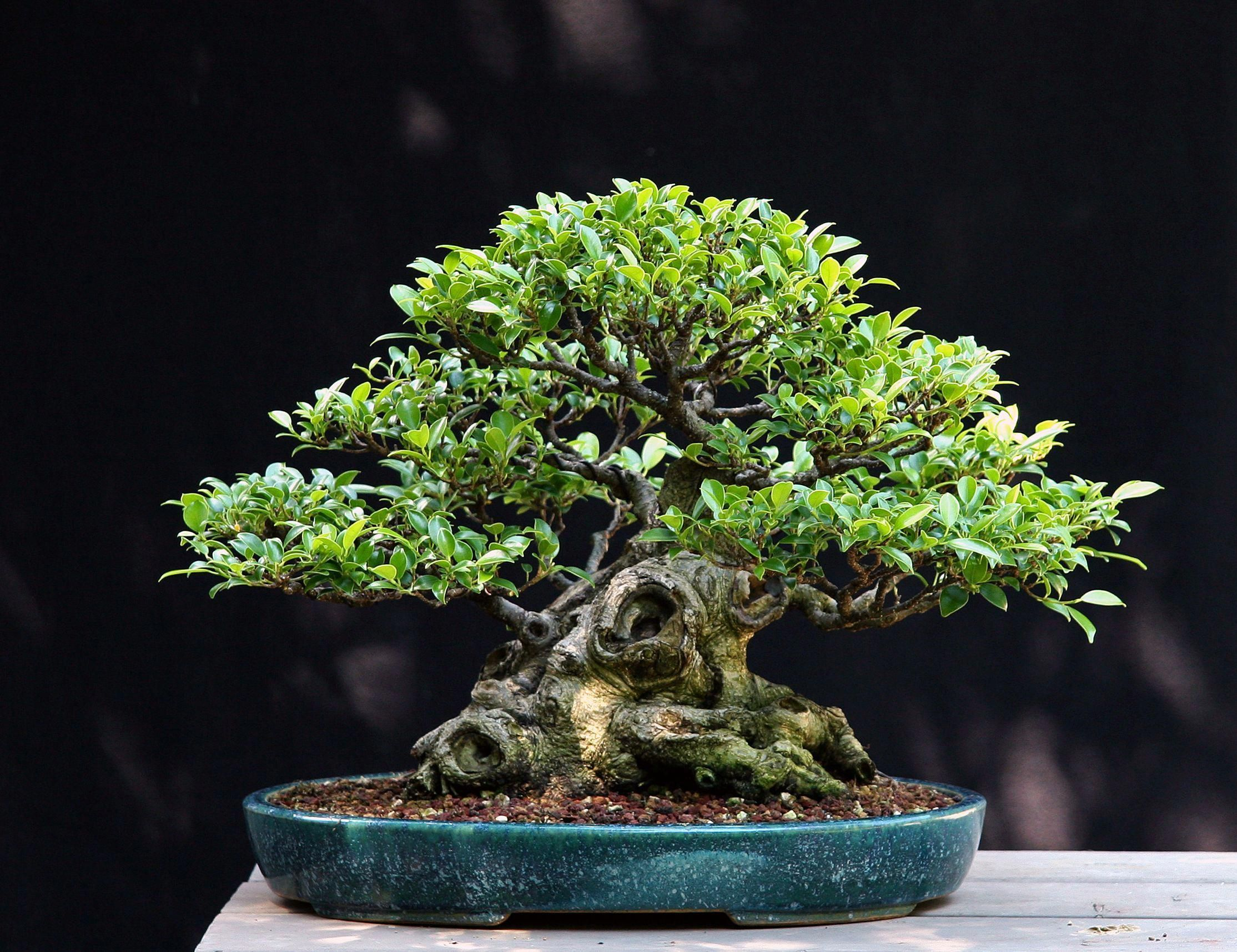 Learn How To Care For Ficus Bonsai Trees Great Indoor Bonsai