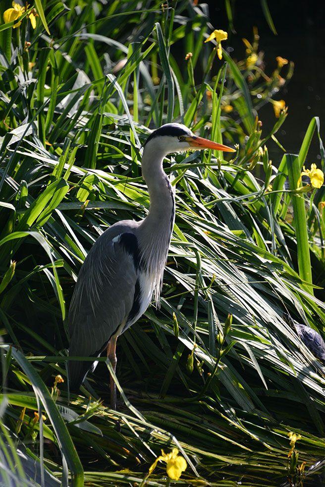 Grey heron hunting on Blackheath pond, London, England Copyright: Andrew Beatson