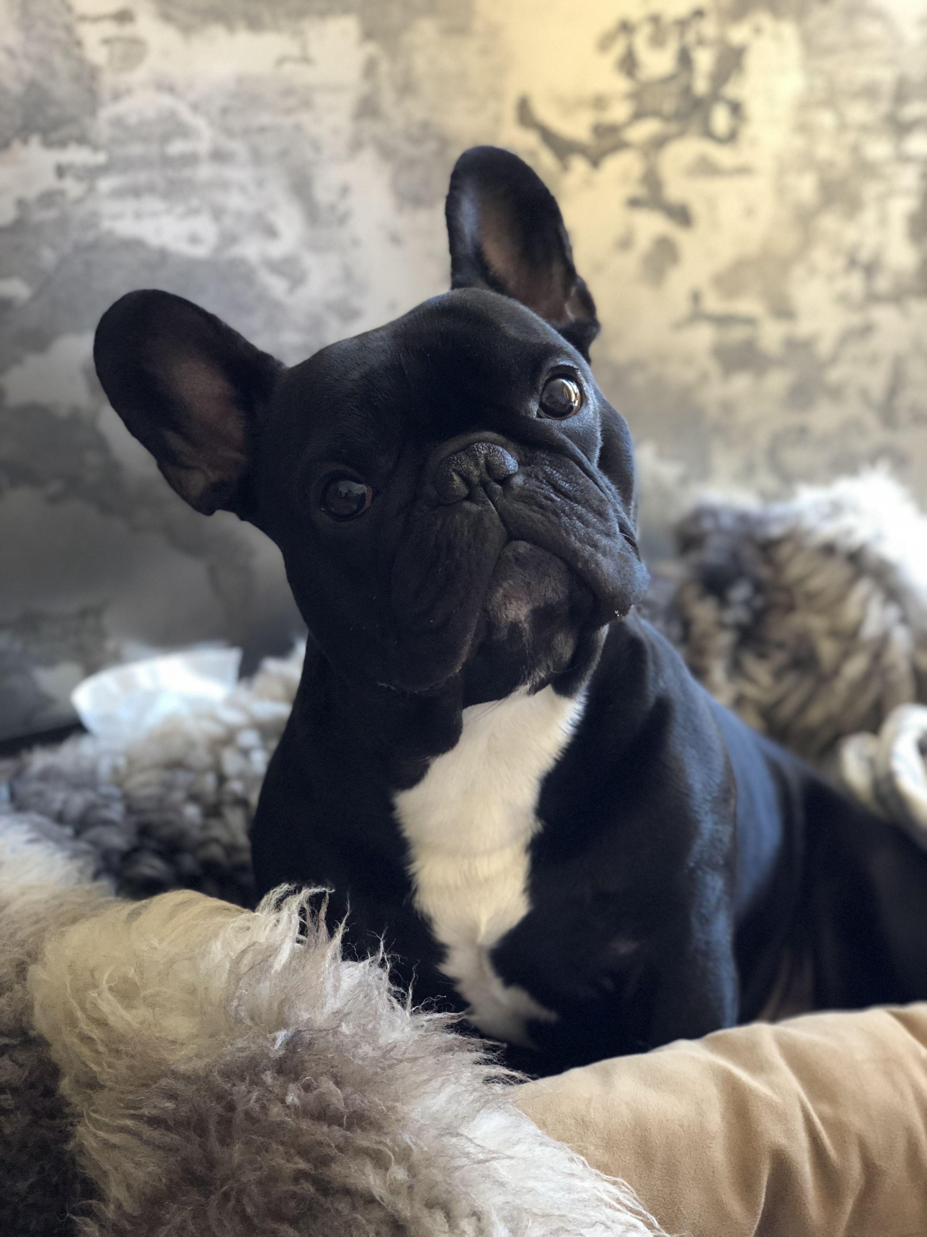 French Bulldog ️ (mit Bildern) Französische