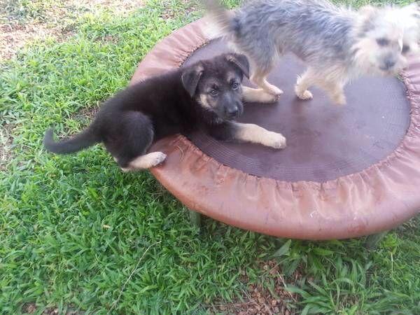 Pin By Us Lost Dog Registry On German Shepherd Dogs Us Lost Dog