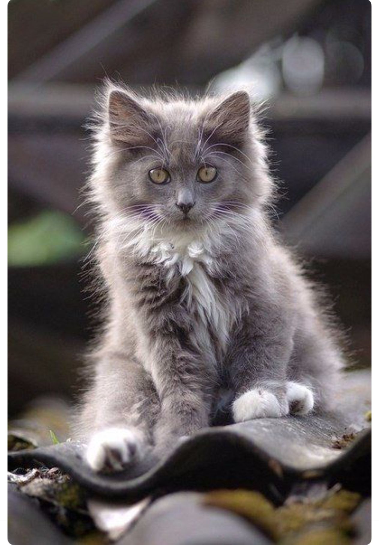 Very Pretty Grey And White Long Haired Kitten Pretty Cats Kittens Cutest Animals