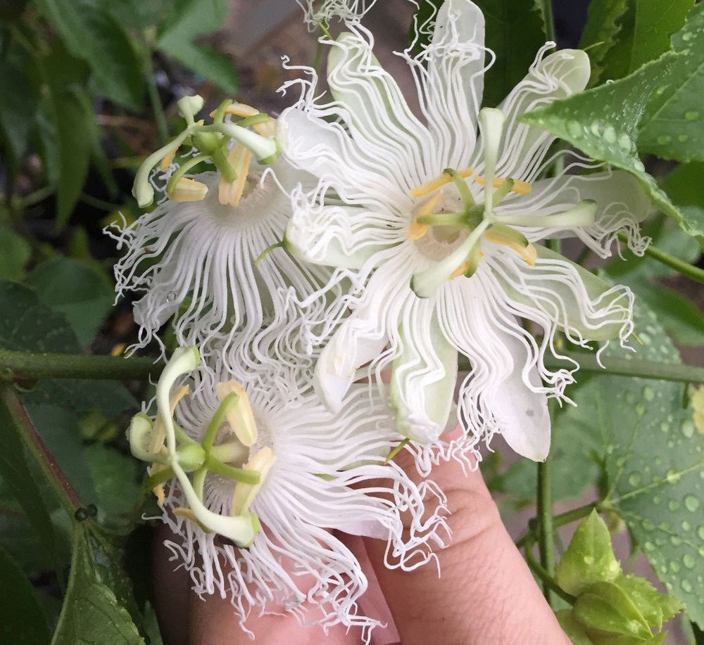 Passiflora Incarnata Var Alba Live Roots White Maypop Wild Passion Fruit Flower Ebay Passion Fruit Flower Passion Flower Passiflora