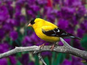 goldfinches generally mate for life and sing and call to their mate.  I love that :)