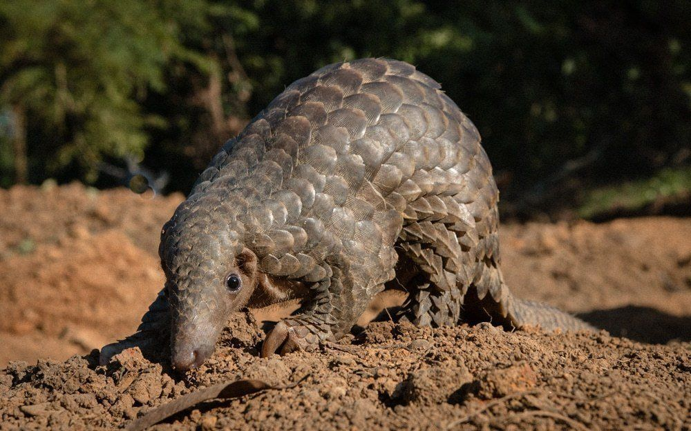 In What Is Being Called The Largest Seizure Of Its Kind In A Shipment Worldwide 14 000 Tons Of Scales From An Estimated 36 000 Pangolins Were Discover Asiatisch