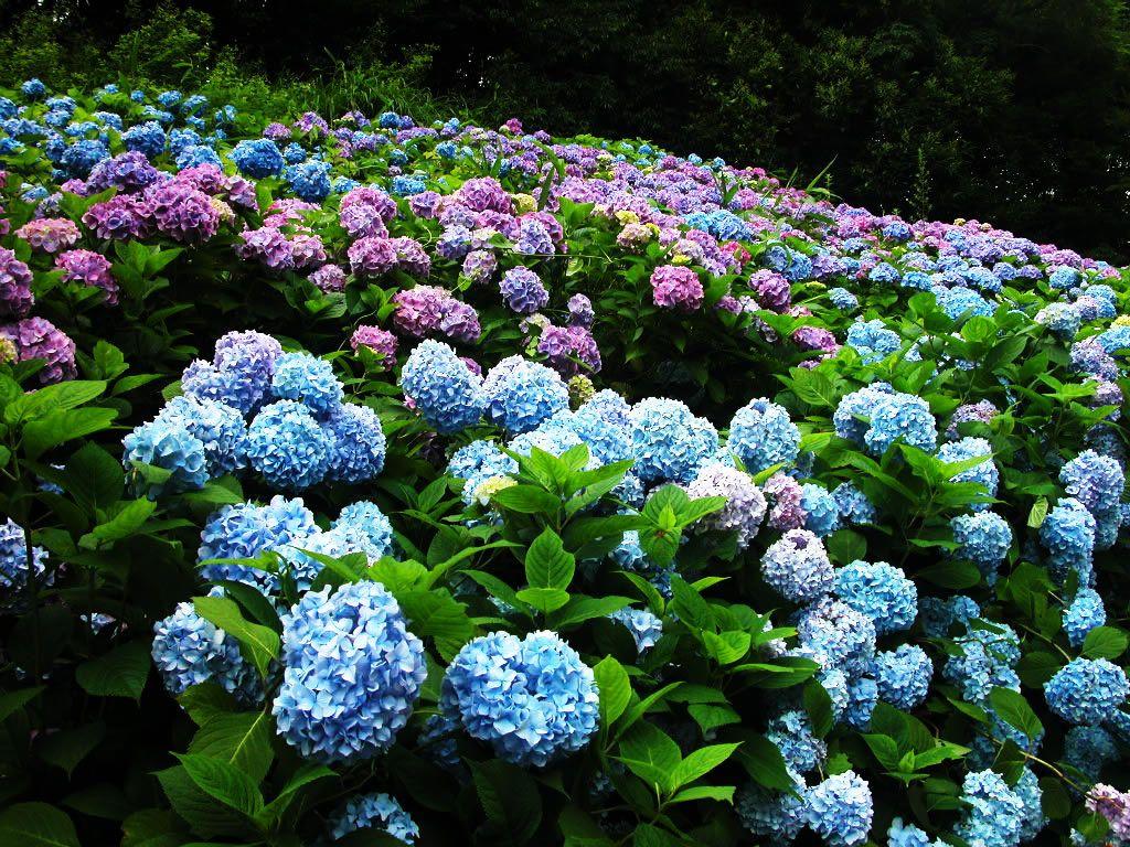 Fragrant Field Blue Field Flowers Hydrangea Pink Hydrangea Wallpaper Beautiful Flowers Wallpapers Flower Garden Images
