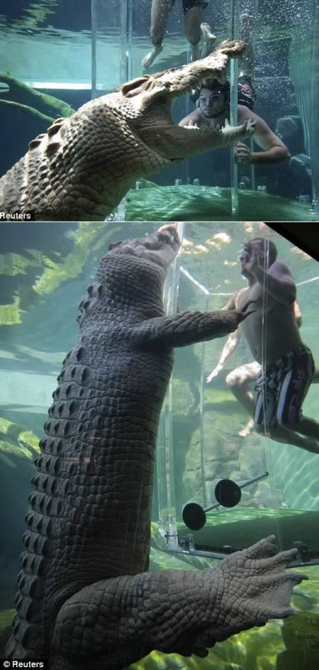 Without the cage you wouldn't stand a chance swimming with a massive saltwater crocodile. But for brave punters who still want to get cozy with a feisty croc, a new Australian tourist attraction is offering the chance for a close encounter in the safety of a clear acrylic box dubbed the 'cage of death.' (http://www.crocosauruscove.com/cage-of-death/)