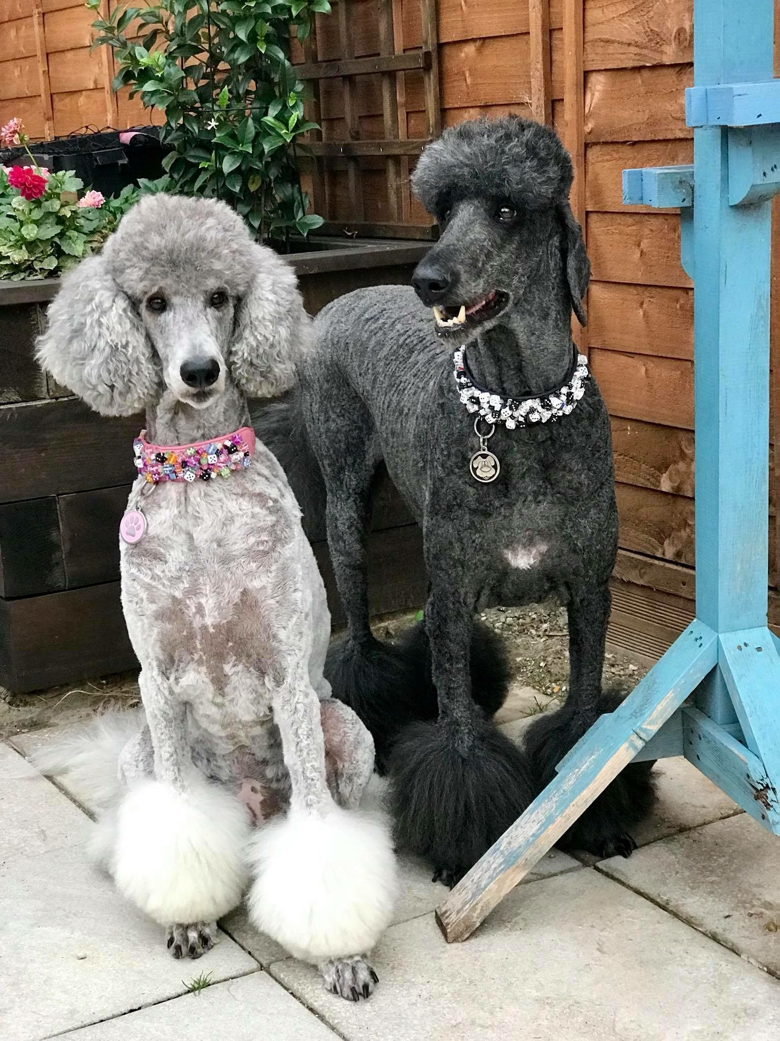 Pin By Starlingale Shelton On Oodles Of Poodles Dog Lovers