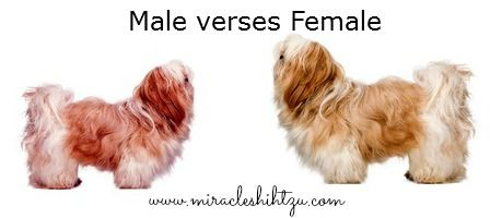 The Shih Tzu Dog Temperament Personality Recipes To Cook Shih