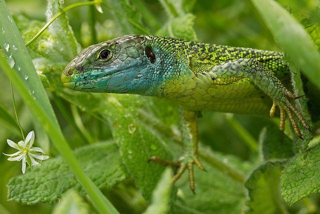 Lézard vert (Lacerta viridis) European Green Lizard by Sinkha63, via Flickr