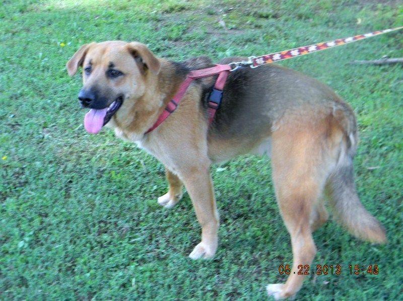 Adopt easy on german shepherd dogs dogs shepherd dog