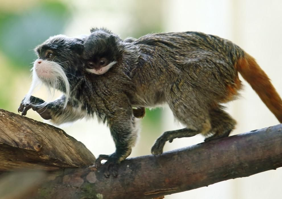 2015 in photos: Animals An male emperor tamarin (Saguinus imperator) carries a four-week-old infant at Schoenbrunn Zoo in Vienna, Austria, May 29, 2015. The infant was born at the zoo on April 26 and measures some 2 inches without its tail.