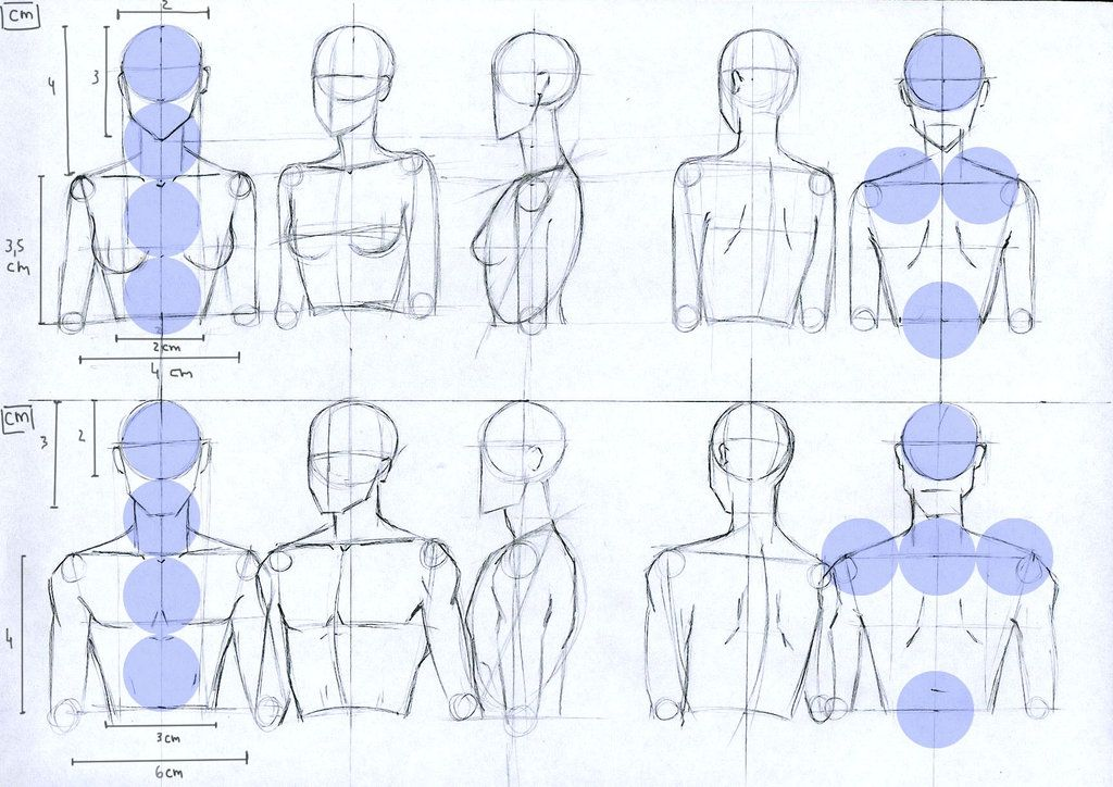 Female and Male anatomy proportions for head and torso. Description ...