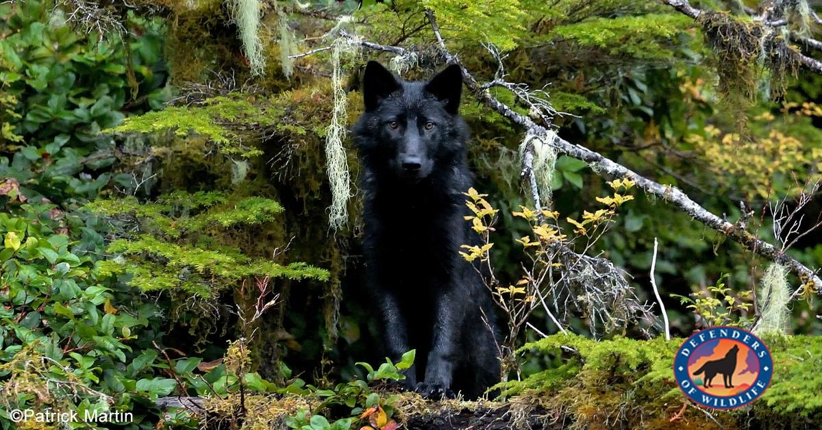 Alexander Archipelago wolves are increasingly vulnerable
